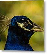 Peacock Closeup Metal Print