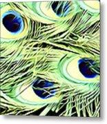 Peacock Colour Metal Print