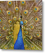 Peacock Courting Metal Print