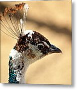Peacock Crest Metal Print