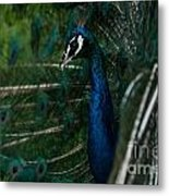 Peacock Dance Metal Print