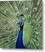 Peacock Display Metal Print
