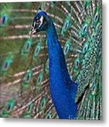 Peacock Display Metal Print