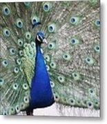 Peacock Fanning Metal Print