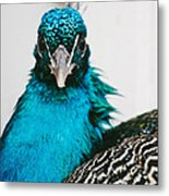 Peacock Front View Metal Print