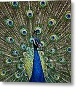 Peacock In Full Pulmage Metal Print
