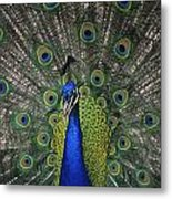 Peacock In Open Feathers, Victoria, Bc Metal Print