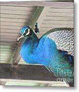 Peacock In The Rafters Metal Print