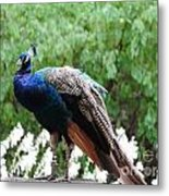 Peacock On A Rock 1 Metal Print