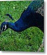 Peacock Portrait 4 Metal Print