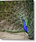 Peacock Profile Metal Print