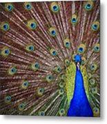 Peacock Squared Metal Print