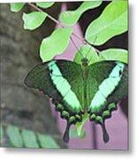 Peacock Swallowtail Metal Print