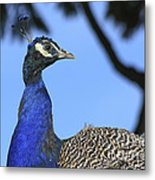 Indian Peacock Portrait Metal Print
