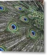 Peacock's Feathers Metal Print