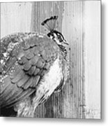 Peafowl Metal Print