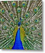 Peafowl Peacock Metal Print