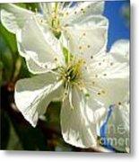 Pear Blossom Metal Print
