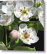 Pear Blossom Special Metal Print