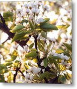 Pear Blossoms Metal Print