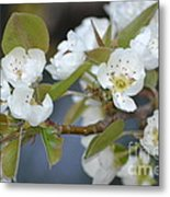 Pear Tree Blooms Metal Print