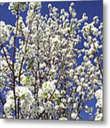 Pear Tree Blossoms In Spring Metal Print