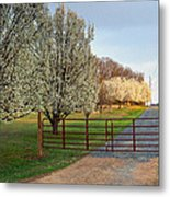 Pear Tree Blossoms In The Carolinas Metal Print