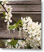 Pear Tree Blossoms Metal Print
