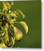Pear Tree Metal Print
