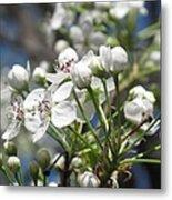 Pear Tree In Bloom Metal Print
