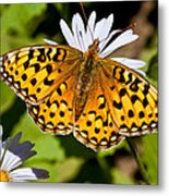 Pearl Border Fritillary Butterfly On An Aster Bloom Metal Print