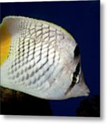 Pearlscale Or Yellow-tailed Butterflyfish Metal Print