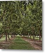 Pecan Orchard Sahuarita Arizona Metal Print