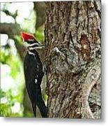 Pecking Woodpecker Metal Print
