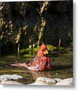 Pedernales Park Texas Bathing Cardinal Metal Print