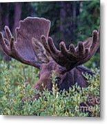 Peek-a-boo Moose Metal Print