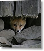 Peeping Fox Metal Print