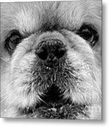 Pekingese Puppy Metal Print