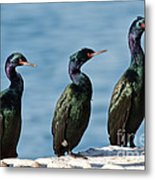 Pelagic Cormorants Metal Print