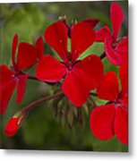 Pelargonium Metal Print