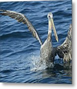 Pelican 2 Metal Print