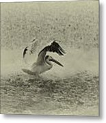 Pelican Landing In Black And White Metal Print by Thomas Young