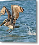 Pelican Taking Off Metal Print