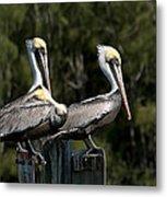 Pelican Threesome Metal Print