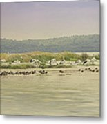 Pelicans At Poddy Shot Metal Print