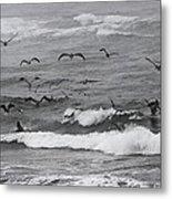 Pelicans Lunching At Ft. Stevens Oregon Metal Print