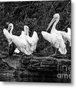 Pelicans Mono Metal Print