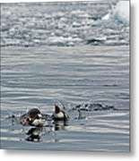Penguins In The Water Metal Print