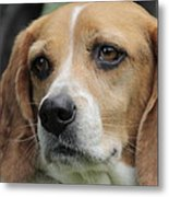 The Beagle Named Penny Metal Print