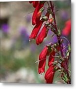 Penstemon Metal Print by Kathy McClure